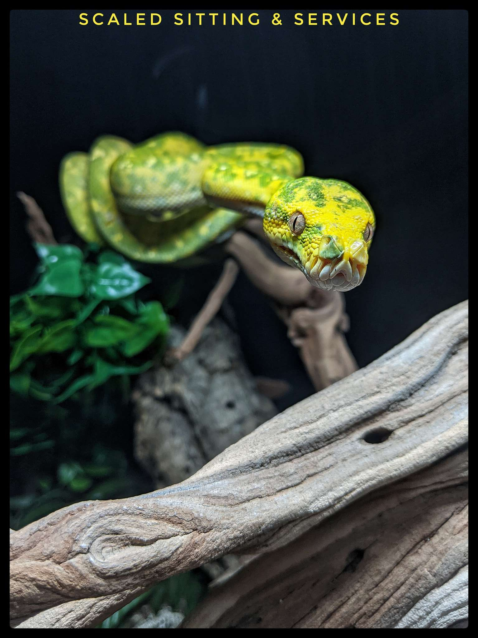 green tree python with face extended outwards towards camera, black background