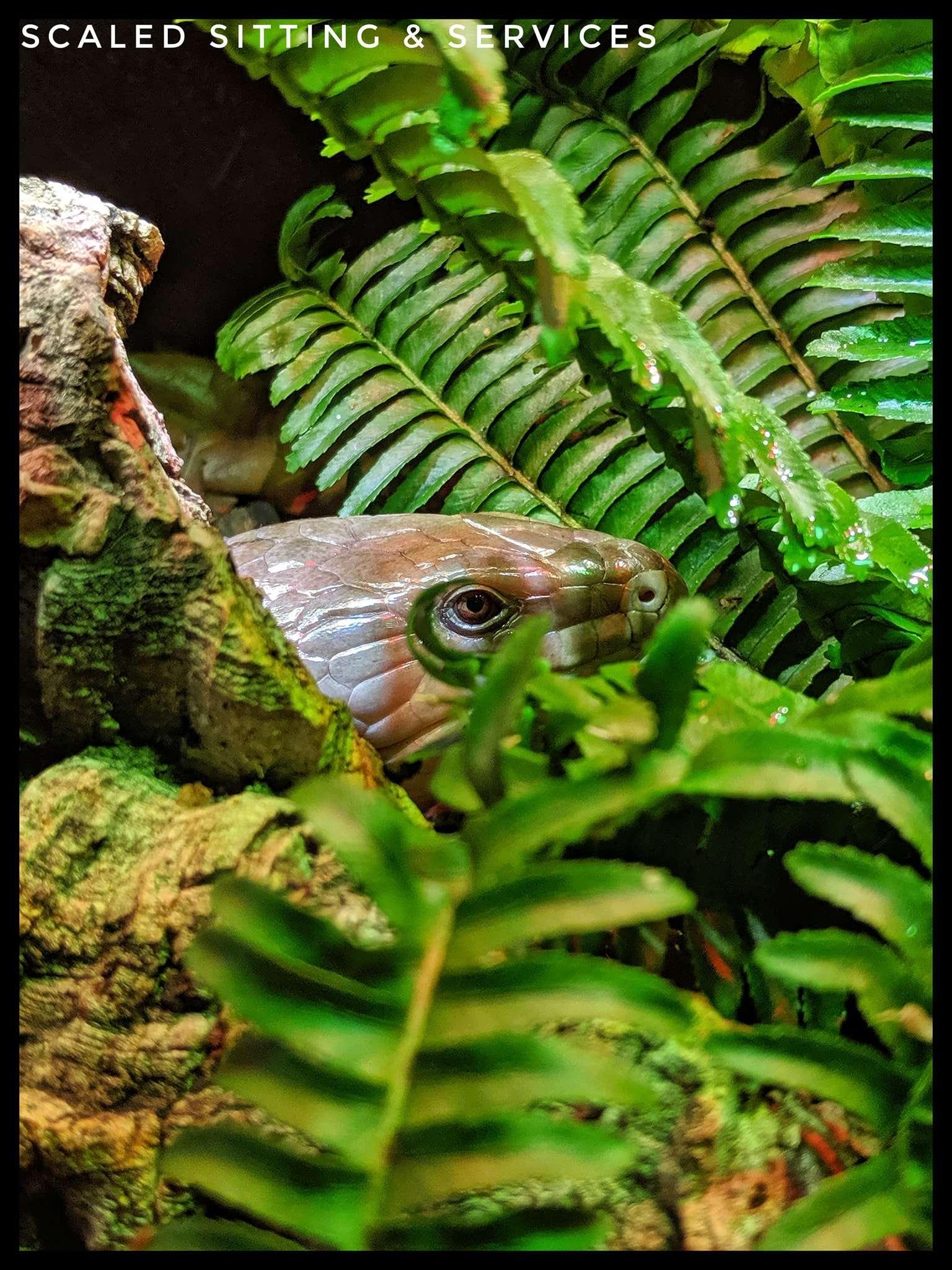 blue tongue skink hiding behind green fern