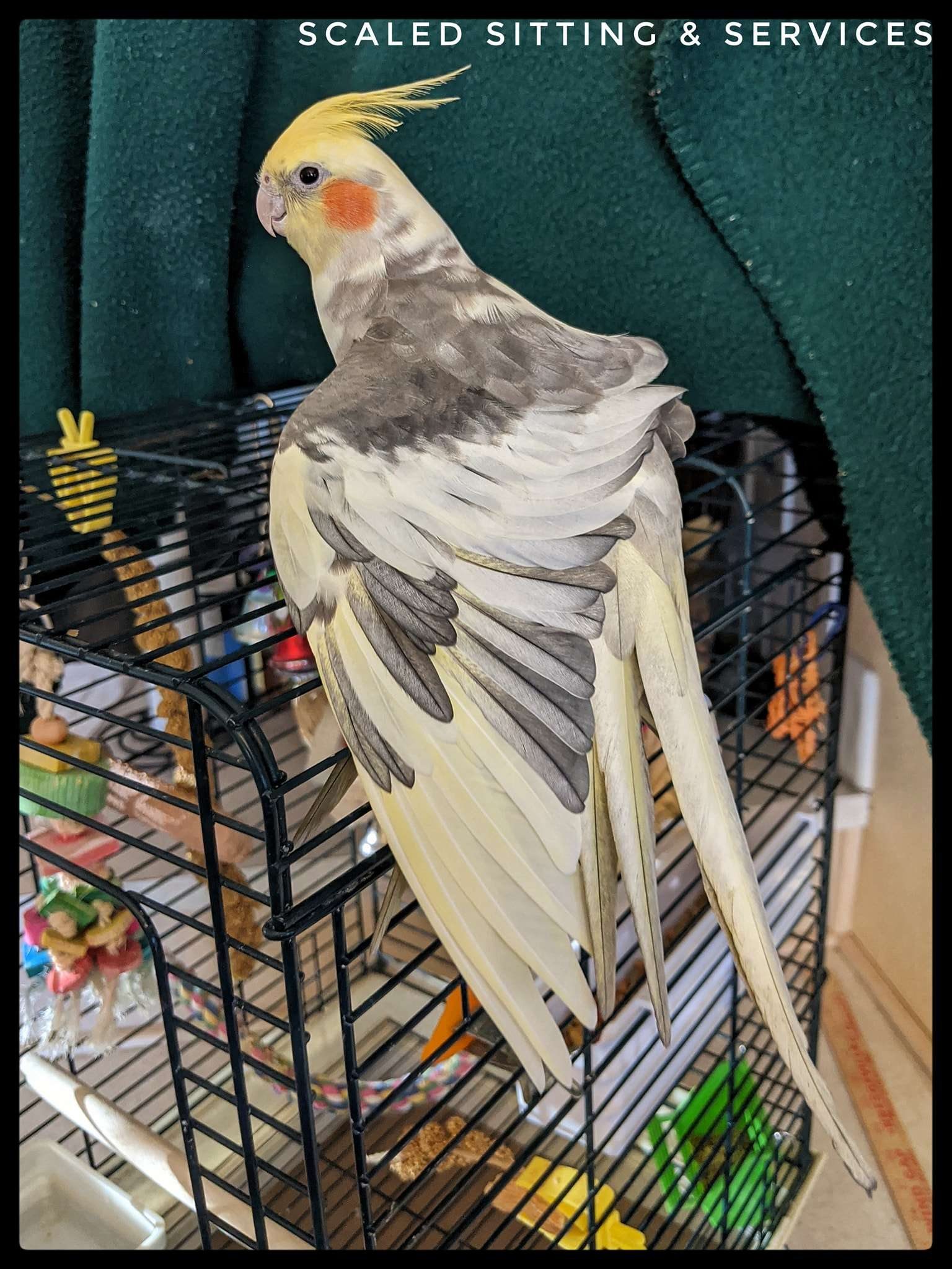 Light yellow and grey cockatiel with one wing stretched downwards, green background
