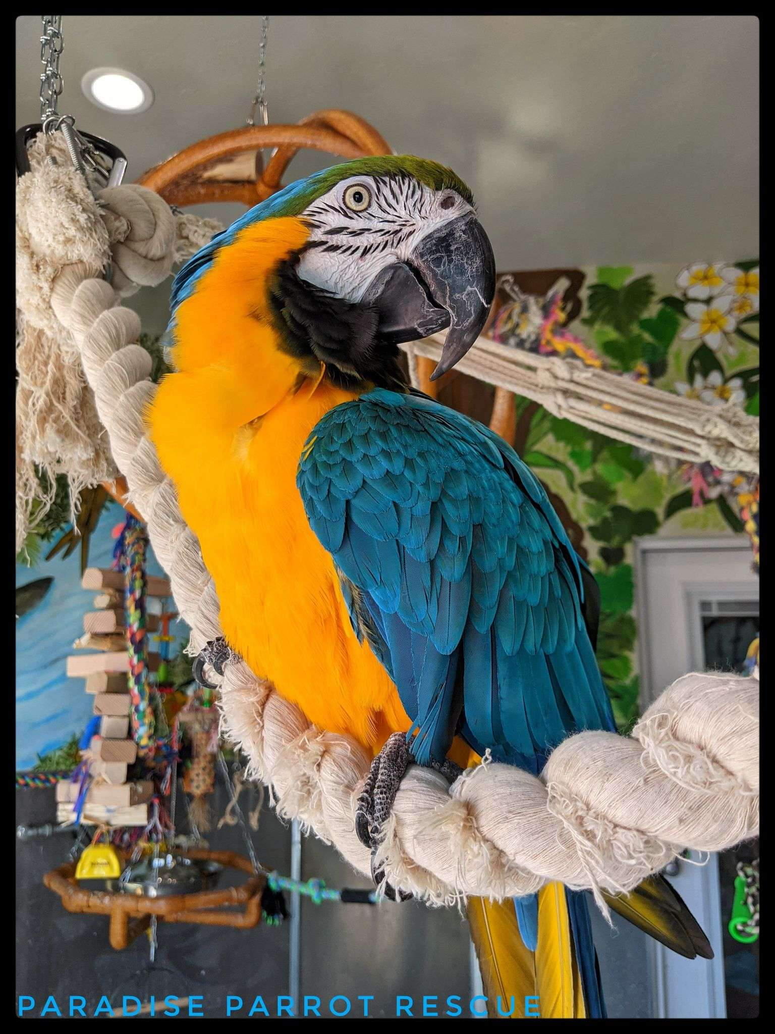 blue and gold macaw sitting on rope perch