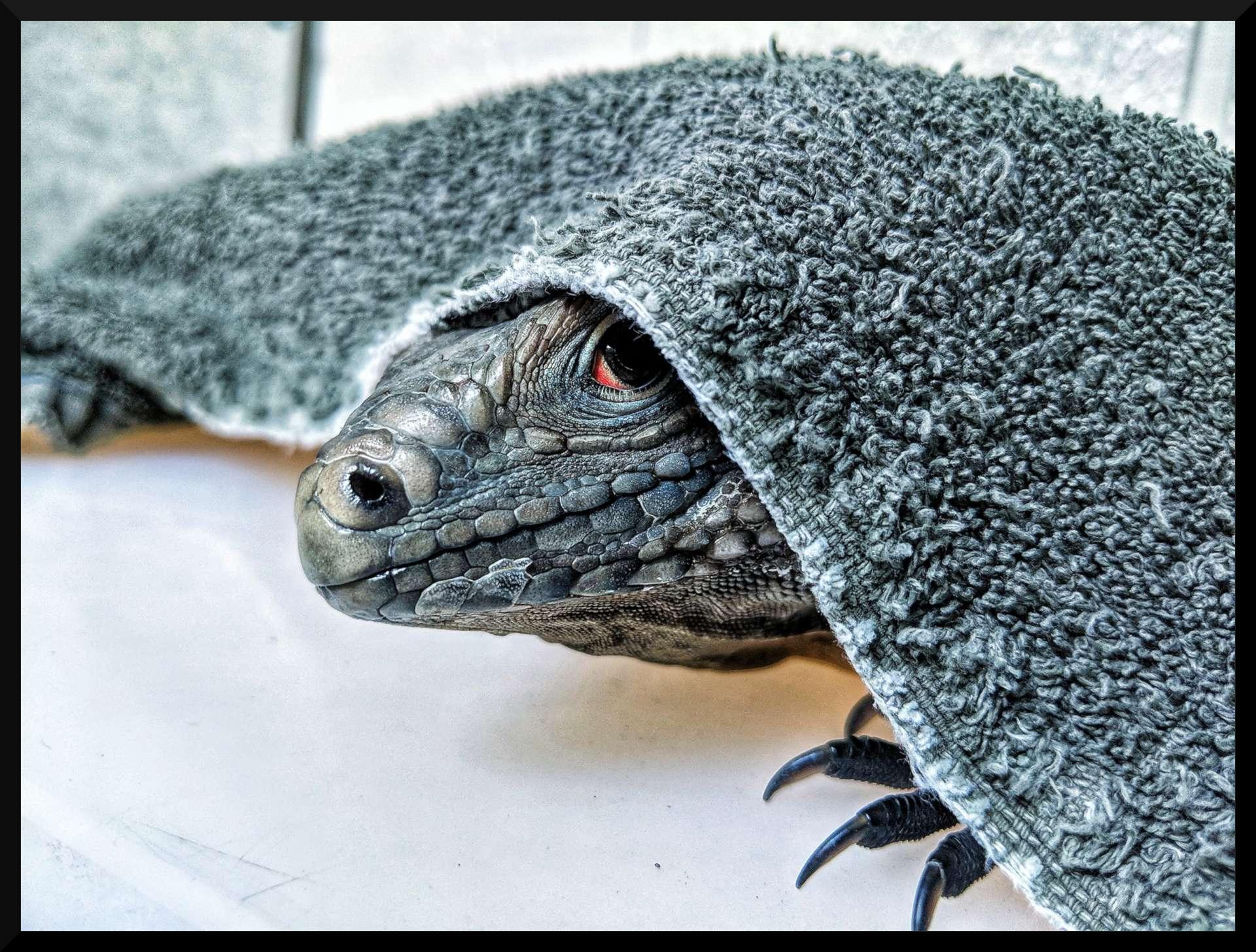 lewisi hybrid iguana face sticking out from under dark blue towel, white flooring