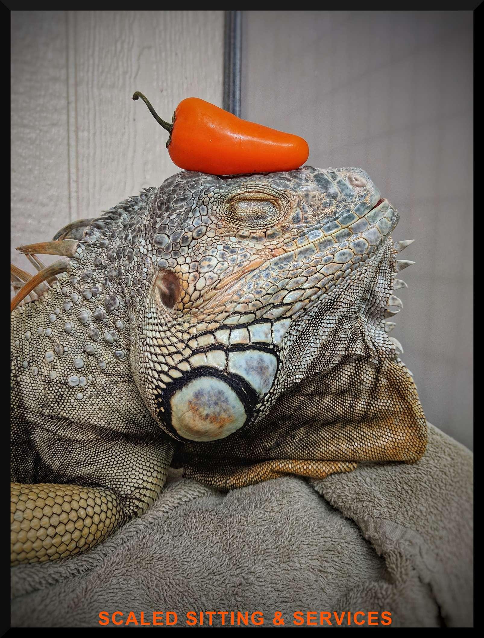 green iguana head side angle, single orange sweet pepper is resting on iguanas head