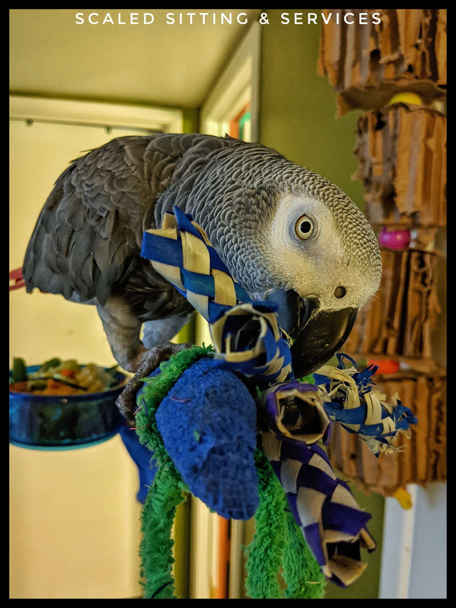 african grey parrot on perch chewing on toy