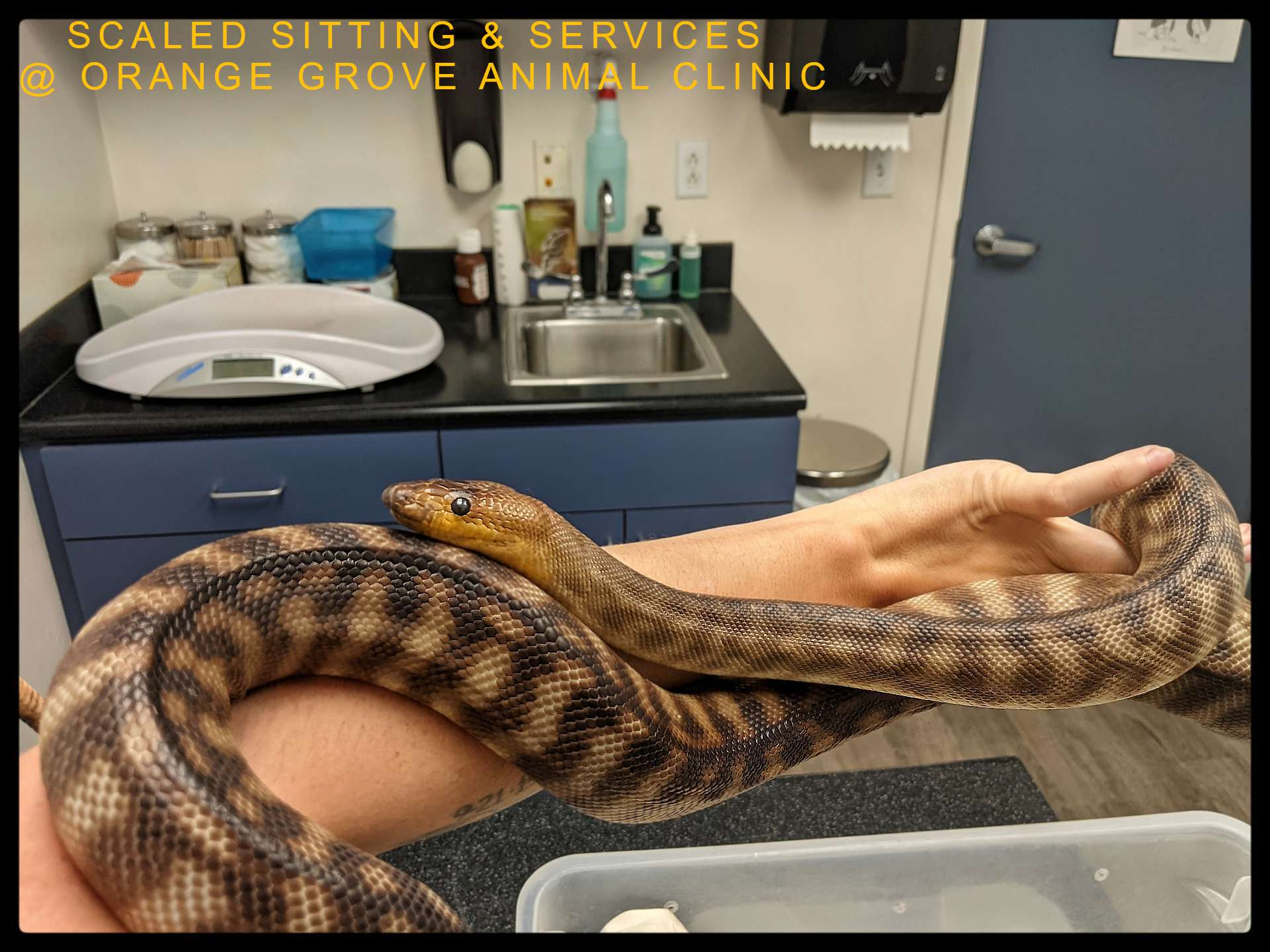 Woma python laying across an arm at exotic vet clinic for medical treatment