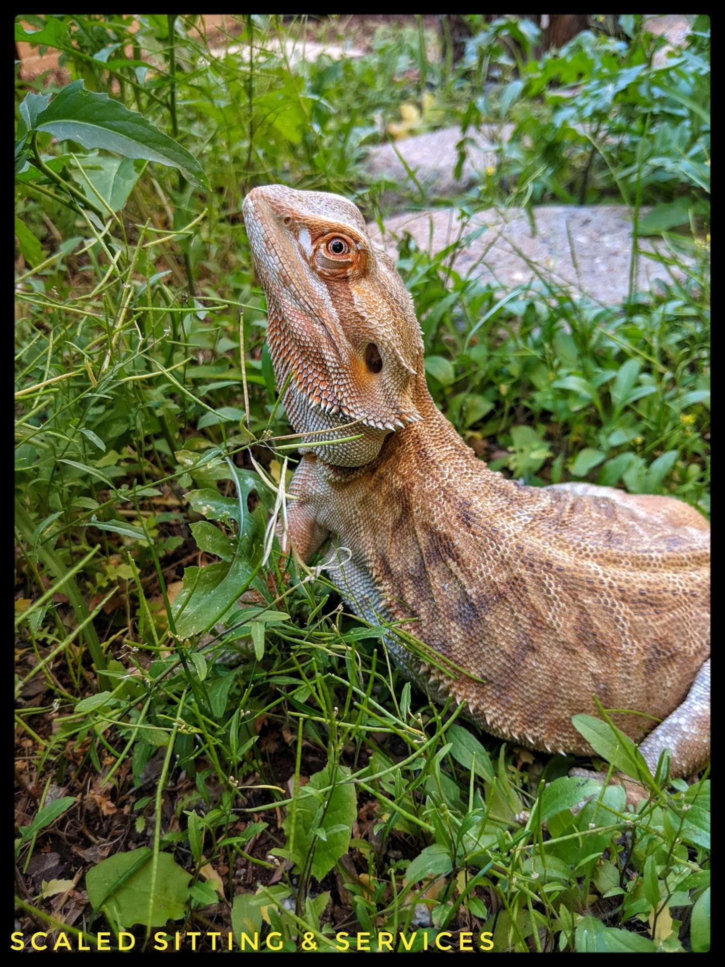 Bearded dragon outside in green foliage looking up towards the sky