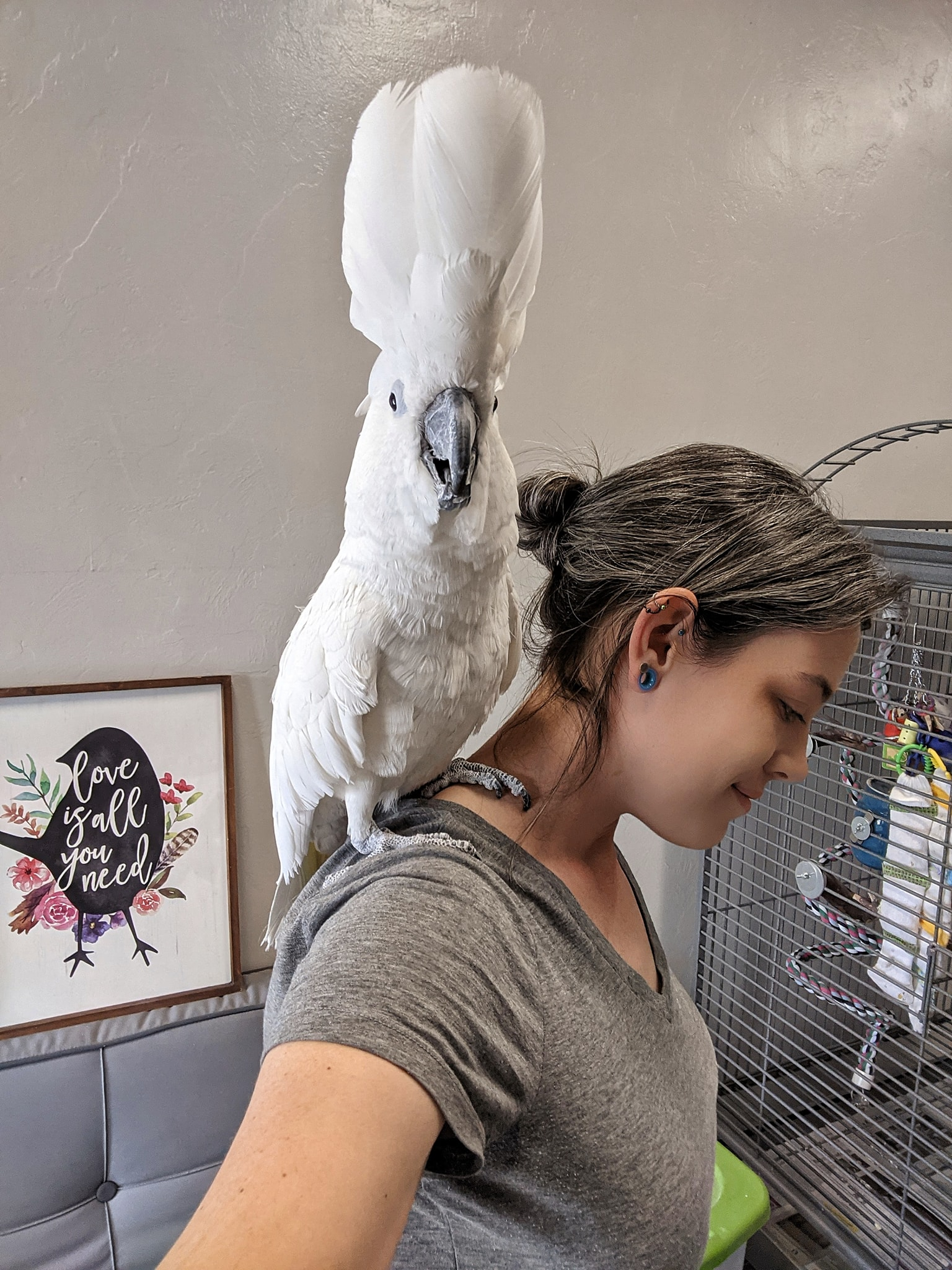 umbrella cockatoo sitting on my shoulder