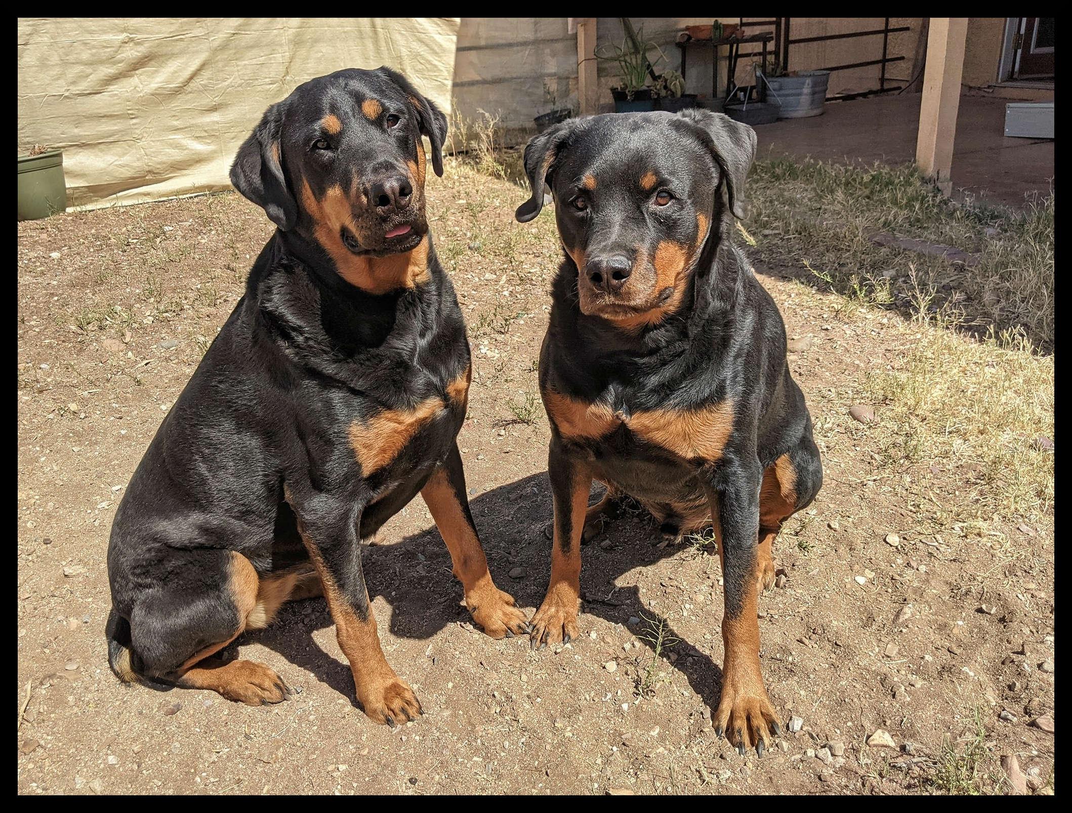 Freya Rottweiler on left, Baldur Rottweiler on the right sitting next to each other in dirt backyard