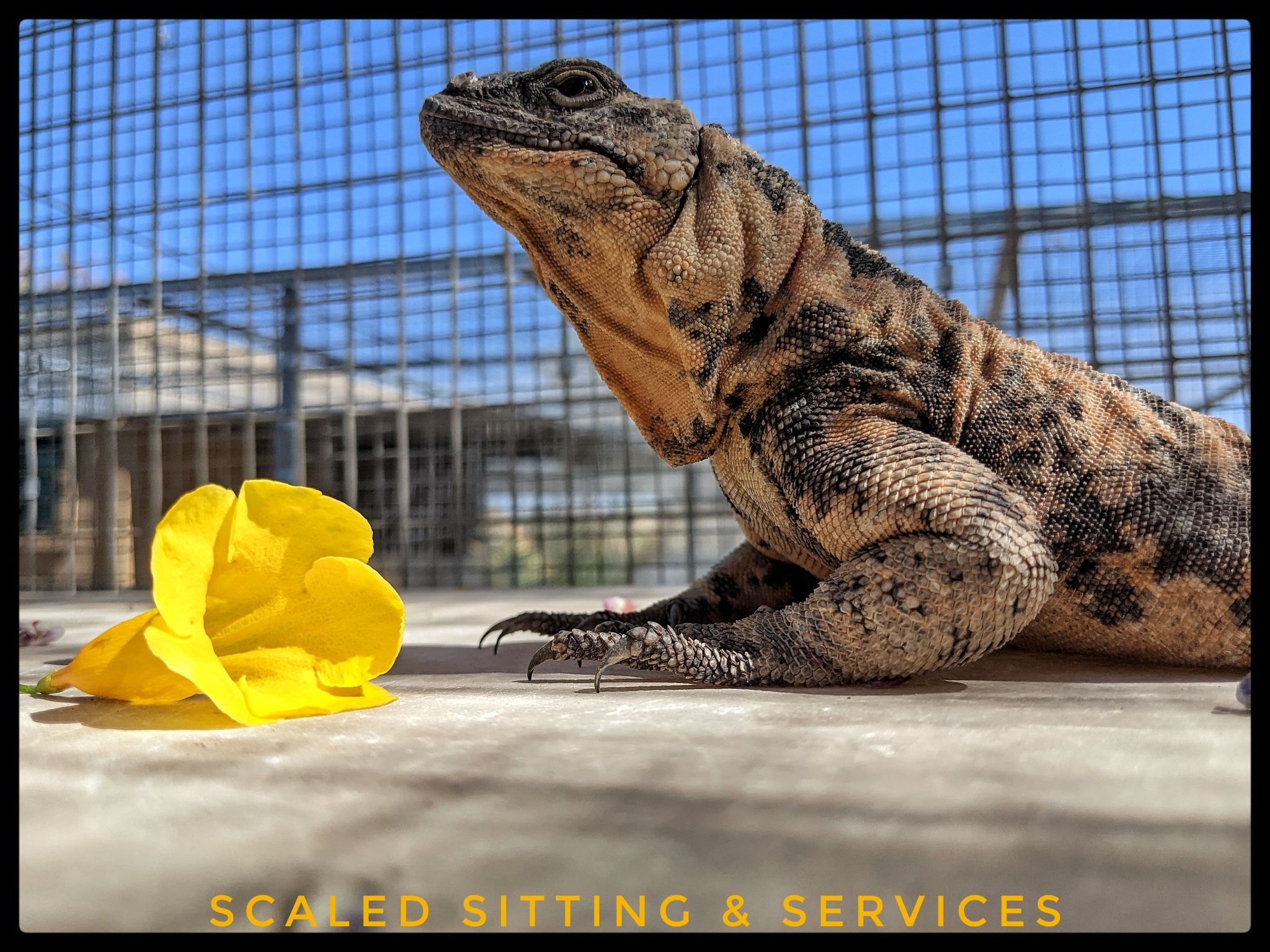 orange and grey chuckwalla with yellow flower in foreground, blue sky background