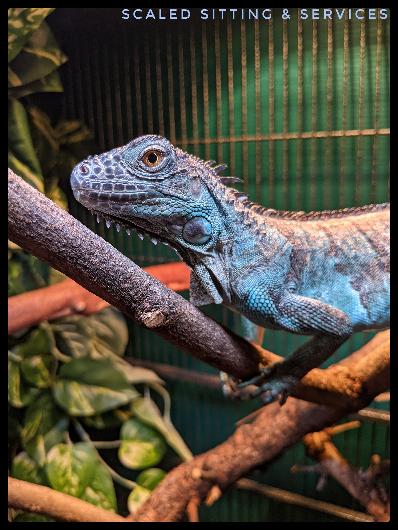 young blue iguana on branches basking under light
