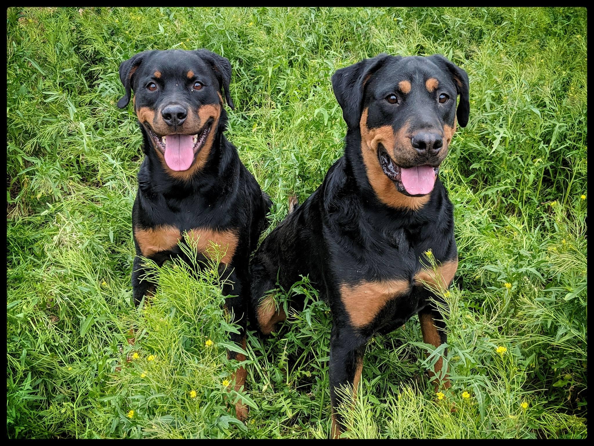 Baldur, Rottweiler on the left, Freya Rottweiler on the right, both sitting in green grass