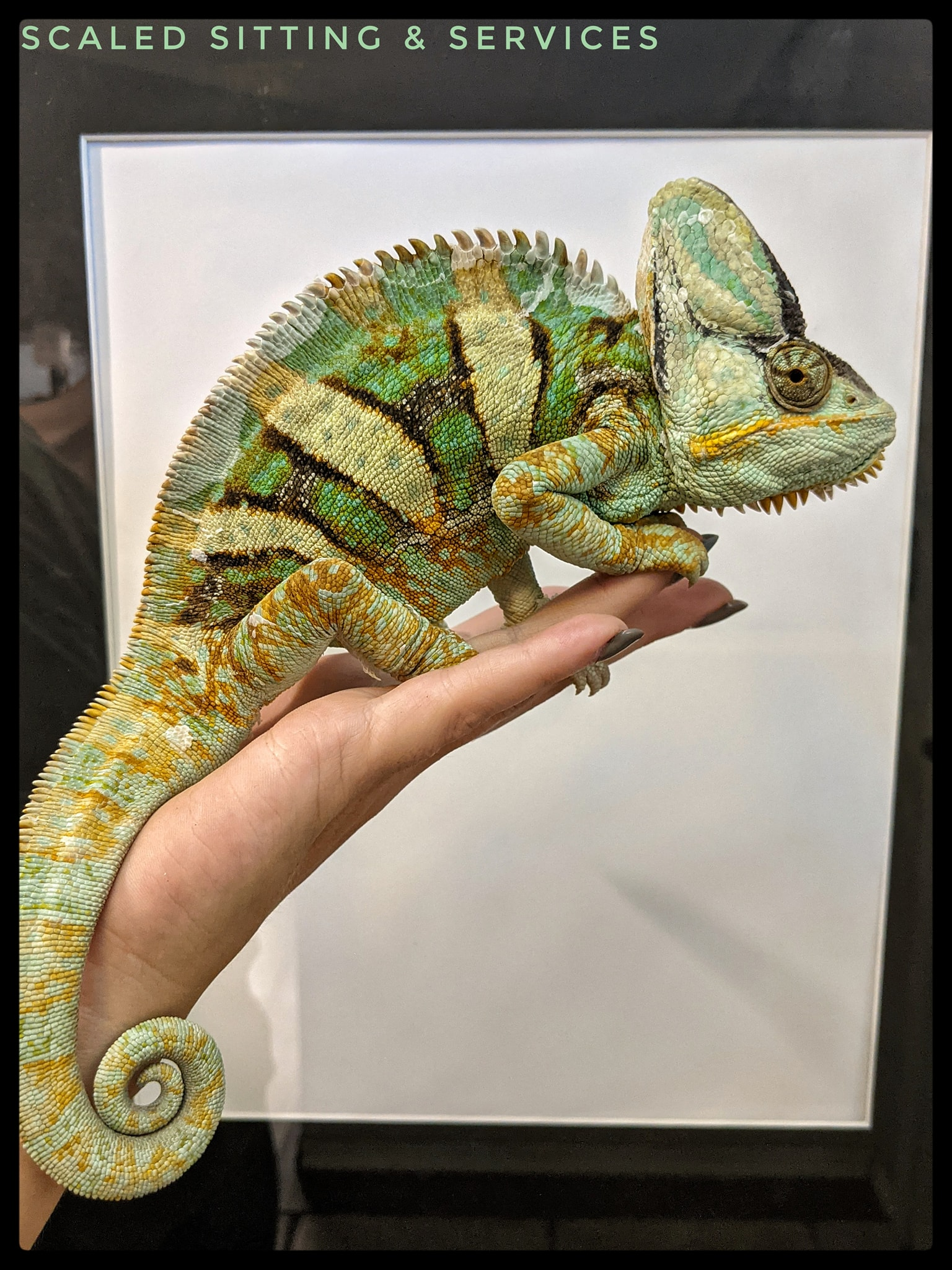 adult male veiled chameleon perched on a hand in front of white background
