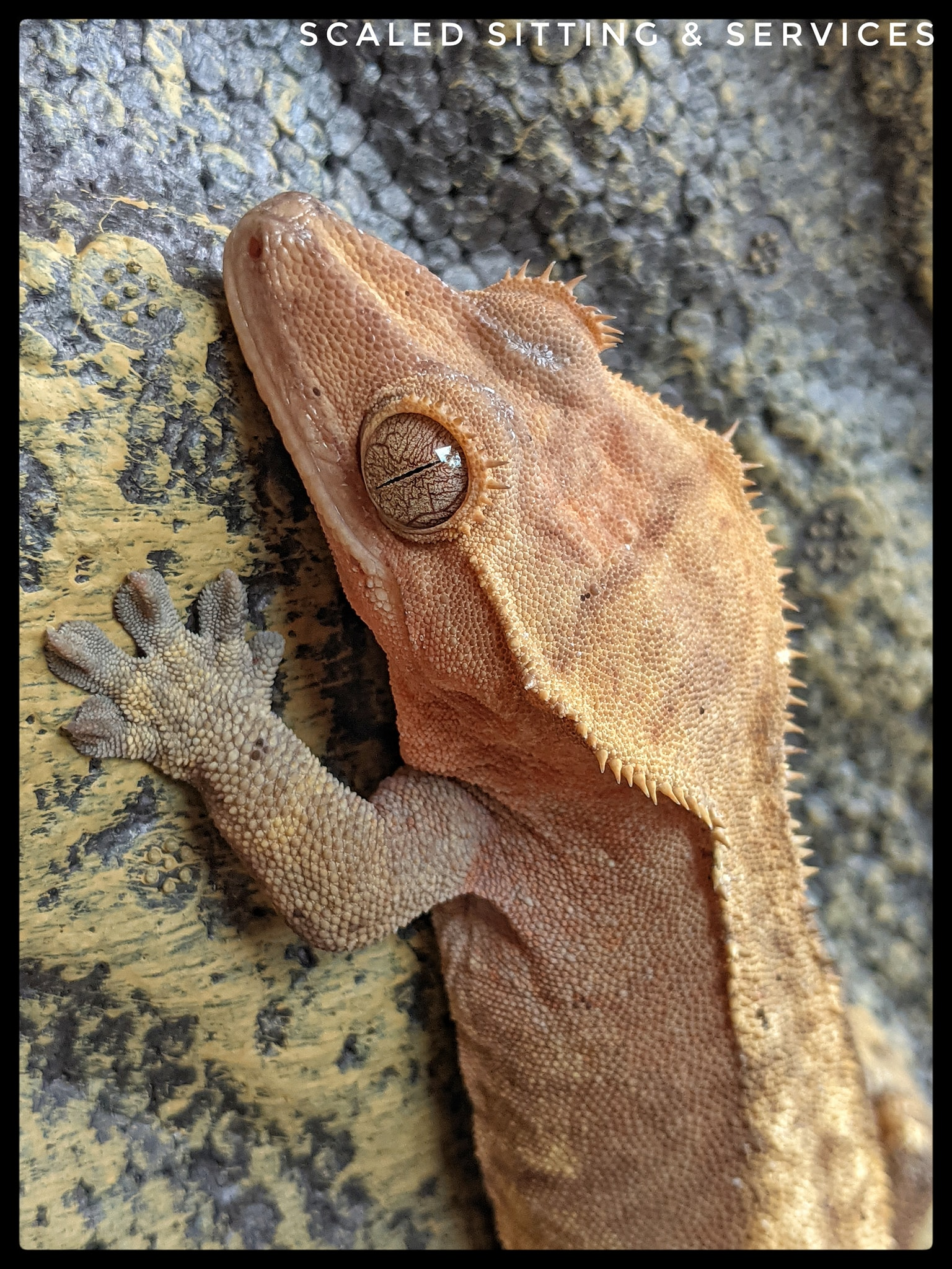 close up head shot of crested gecko