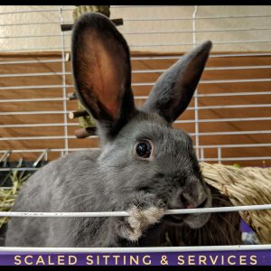 dark grey adult rabbit in hutch looking out door