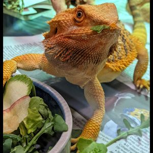 bearded dragon with greens stuck to face