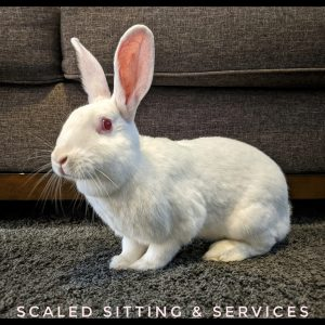 albino rabbit, white with red eyes, sitting in front of a dark grey couch