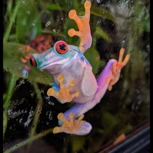 red eyed tree frog clinging to glass, green plants in foreground